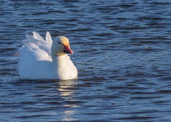 Snow Goose at Fiddlers Pond, Goshen, IN