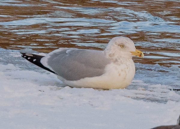 Herring Gull on Riverside Trail, South Bend, IN
