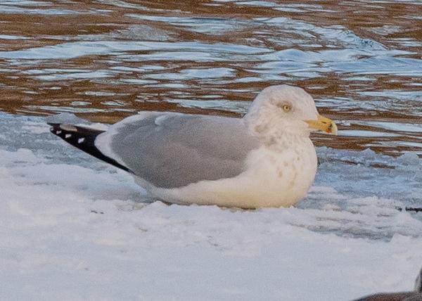 Herring Gull on Riverside Trail, South Bend, IN