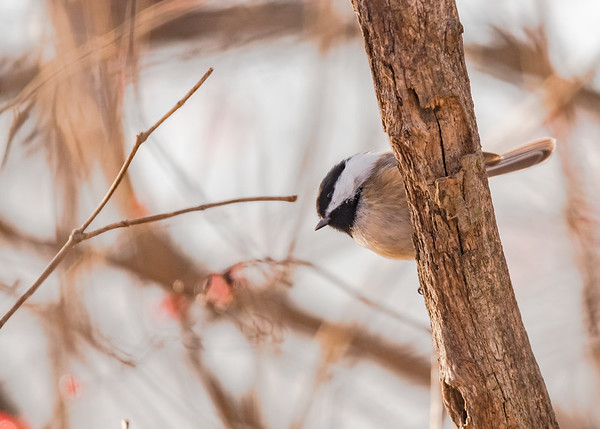 Black-capped Chickadee on Riverside Trail, South Bend, IN