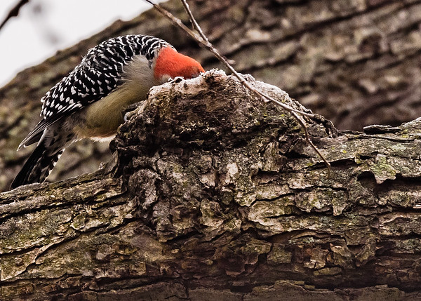Red-bellied Woodpecker on Riverside Trail, South Bend, IN