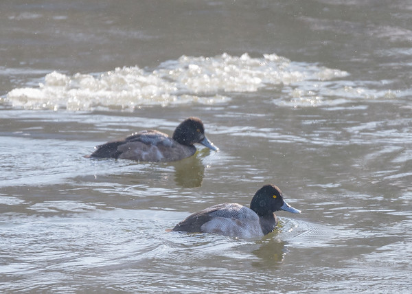 Lesser Scaup on Riverside Trail, South Bend, IN