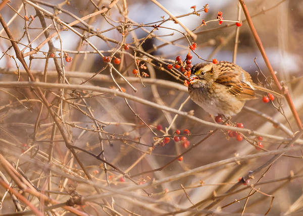 White-throated Sparrow on Riverside Trail, South Bend, IN