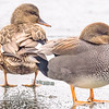 Gadwall at St. Marys Lake, Notre Dame, IN