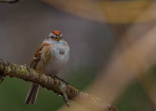 American Tree Sparrow at Rum Village Nature Center, South Bend, IN