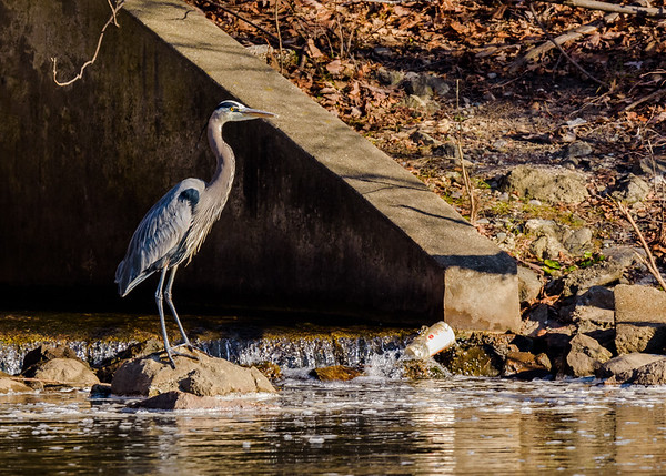 Great Blue Heron on Riverside Trail, South Bend, IN