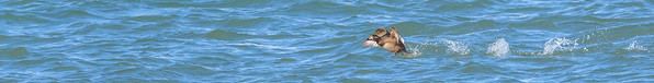 White-winged Scoter at Michigan City Harbor, Michigan City, IN