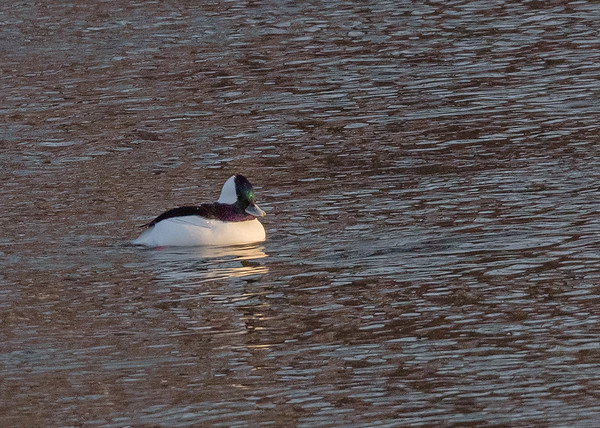 Bufflehead on Riverside Trail, South Bend, IN
