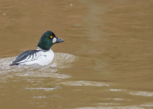 Common Goldeneye on Riverside Trail, South Bend, IN