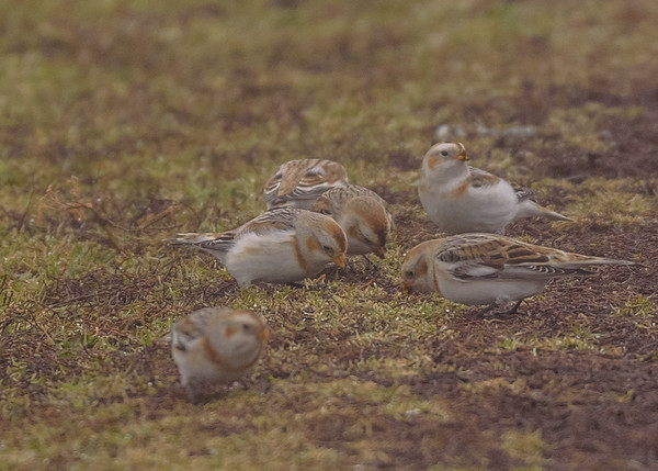 Snow Bunting at Wakarusa Waste Water Treatment Facility, Wakarusa, IN