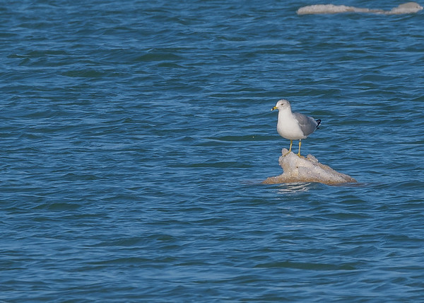 Ring-billed Gull at Michigan City Harbor, Michigan City, IN
