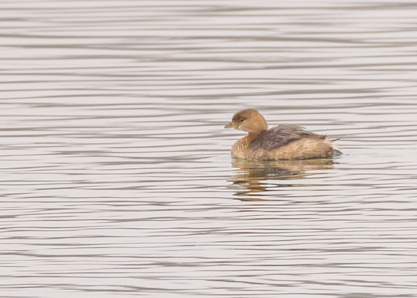 Pied-billed Grebe at Fiddlers Pond, Goshen, IN