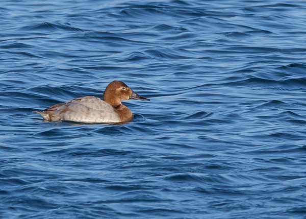 Canvasback at Fiddlers Pond, Goshen, IN