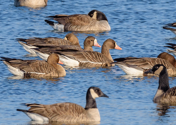 Greater White-fronted Goose at Fiddlers Pond, Goshen, IN