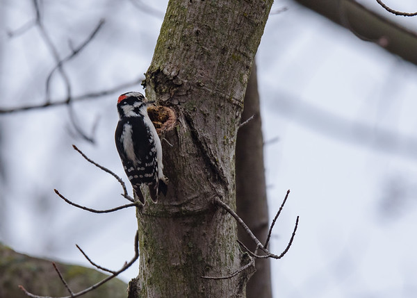 Downy Woodpecker on Riverside Trail, South Bend, IN