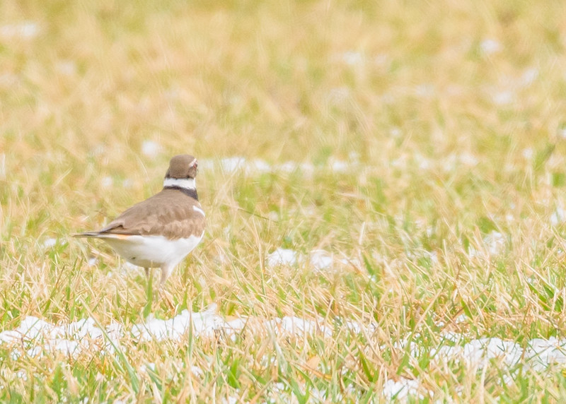 a FOY Killdeer at Wakarusa Waste Water Treatment Plant, Wakarusa, IN
