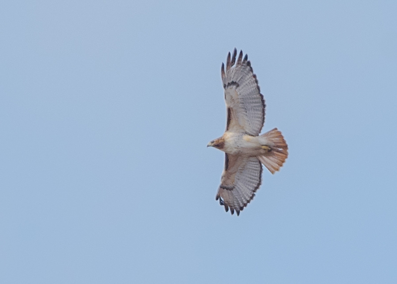 a Red-tailed Hawk in flight at Hoosier Prairie State Nature Preserve, IN