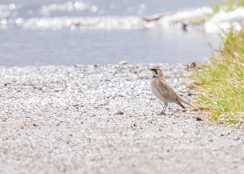 a Horned Lark at Wakarusa Waste Water Treatment Plant, Wakarusa, IN