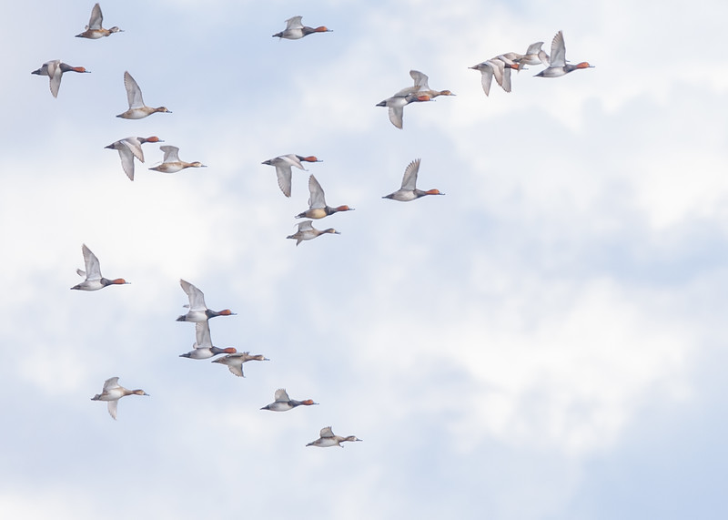 Redhead ducks in flight at Wakarusa Waste Water Treatment Plant, Wakarusa, IN
