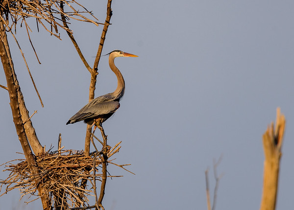 Great Blue Heron manning a nest at Highland's Heron Rookery, Highland, IN