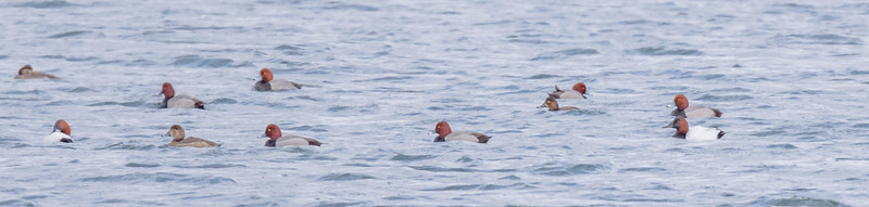 Canvasbacks and Redhead ducks at Wakarusa Waste Water Treatment Plant, Wakarusa, IN