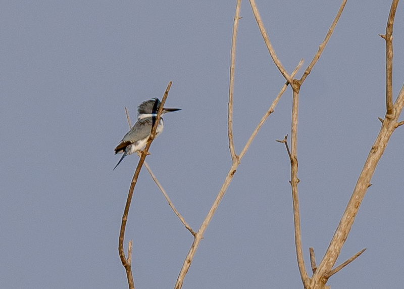 Belted Kingfisher at Highland's Heron Rookery, Highland, IN