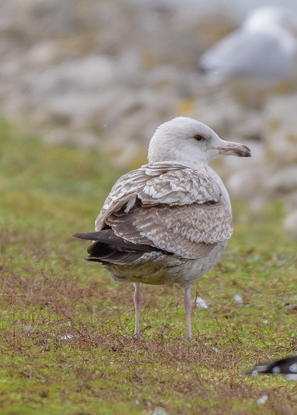 a juvenile Ring-billed Gull at Wakarusa Waste Water Treatment Plant, Wakarusa, IN