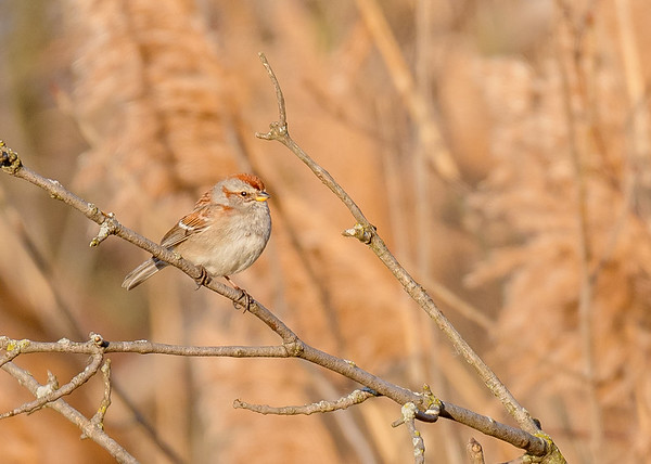 American Tree Sparrow at Highland's Heron Rookery, Highland, IN