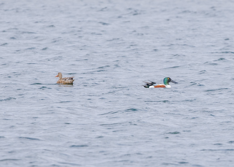 a Northern Shoveler couple at Wakarusa Waste Water Treatment Plant, Wakarusa, IN