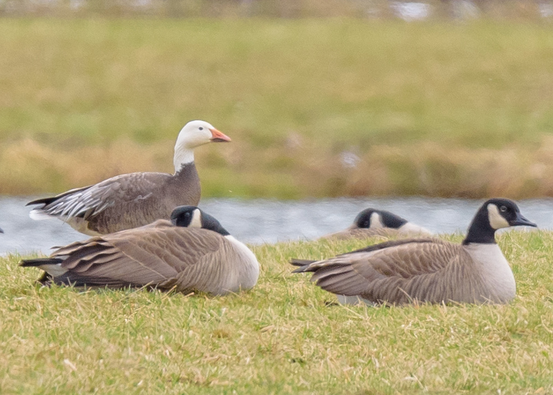 a Snow Goose along with Canada Goose at Wakarusa Waste Water Treatment Plant, Wakarusa, IN