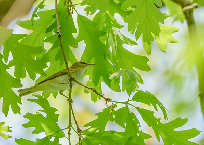 Red-eyed Vireo at Rum Village Nature Center, South Bend, IN