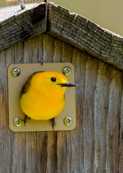 Prothonotary Warbler (male) at Indiana Dunes Nature Center, IN