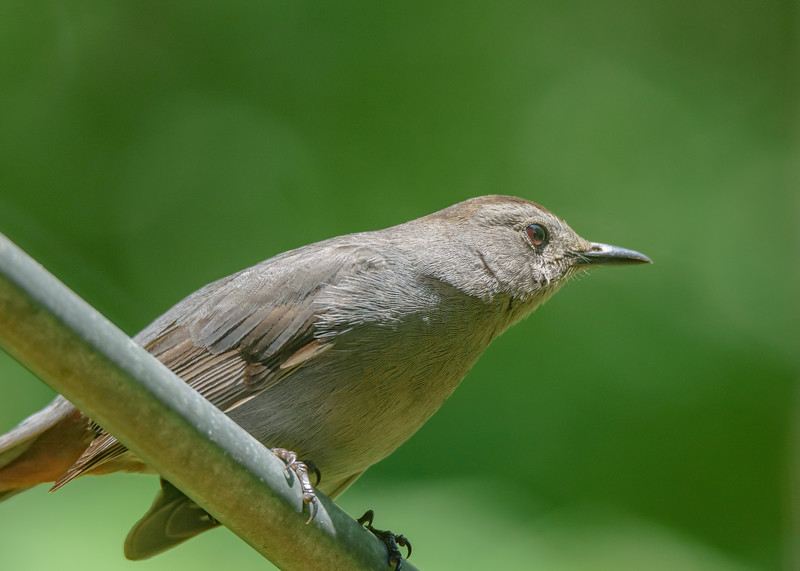 Gray Catbird at Rum Village Nature Center, South Bend, IN