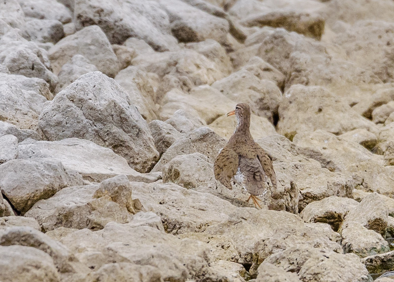 Spotted Sandpiper at Wakarusa WWTF, Wakarusa, IN