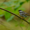Blackpoll Warbler (male) at Rum Village Nature Center, South Bend, IN
