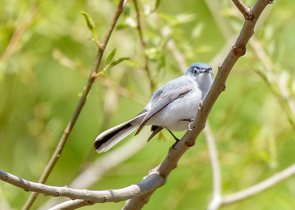 Blue-gray Gnatcatcher (male) at Indiana Dunes Nature Center, IN