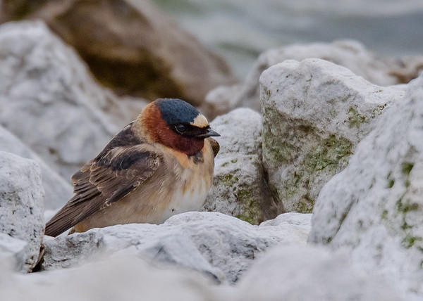 Cliff Swallow at Wakarusa WWTF, Wakarusa, IN