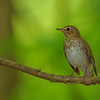 Swainson's Thrush at Rum Village Nature Center, South Bend, IN
