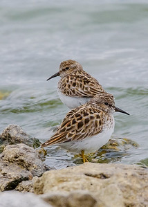 Least Sandpiper at Wakarusa WWTF, Wakarusa, IN
