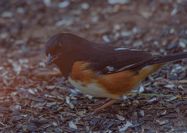 Eastern Towhee (male) at Indiana Dunes Nature Center, IN
