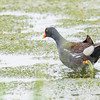 Common Gallinule at Miller's Ditch, Pierce Rd, IN
