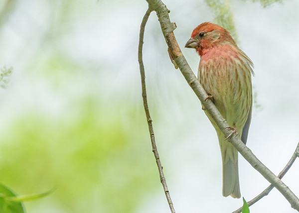 House Finch (male) at Rum Village Nature Center, South Bend, IN