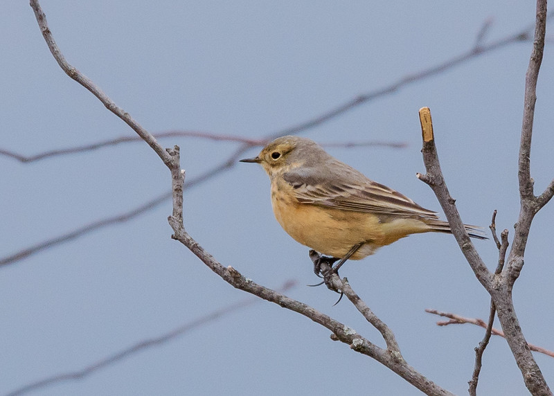 American Pipit at Wakarusa WWTF, Wakarusa, IN