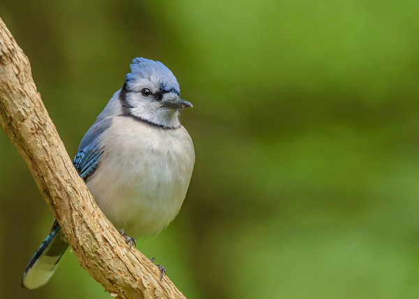 Blue Jay at Rum Village Nature Center, South Bend, IN