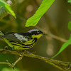 Magnolia Warbler at Rum Village Nature Center, South Bend, IN
