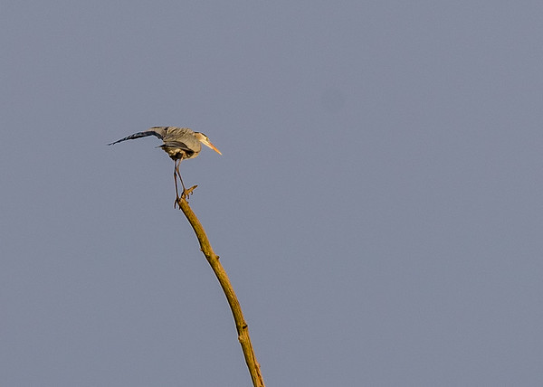 the acrobat! Great Blue Heron at Highland's Heron Rookery, Highland, IN