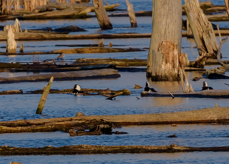 3 male Hooded Mergansers trying to please a female at Highland's Heron Rookery, Highland, IN