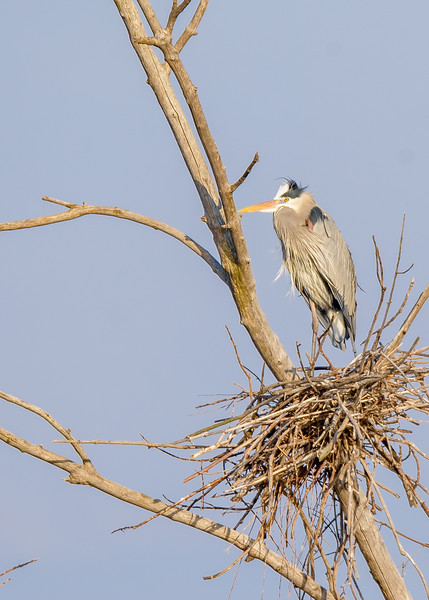 Great Blue Heron guarding its nest at Highland's Heron Rookery, Highland, IN