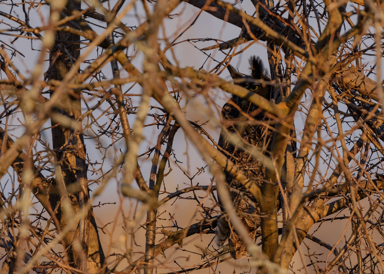 the partner of the Great Horned Owl in the nest in the nearby bushes at Highland's Heron Rookery, Highland, IN