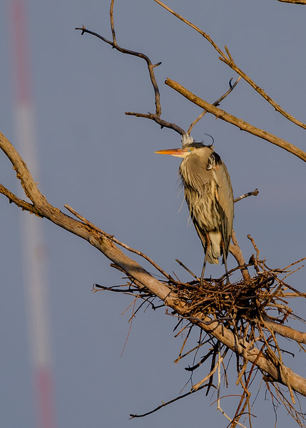 close up view of a Great Blue Heron guarding its nest at Highland's Heron Rookery, Highland, IN